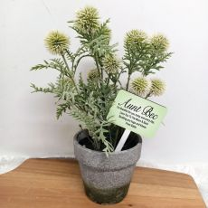 Potted Globe Thistle with Personalised Aunt Sign